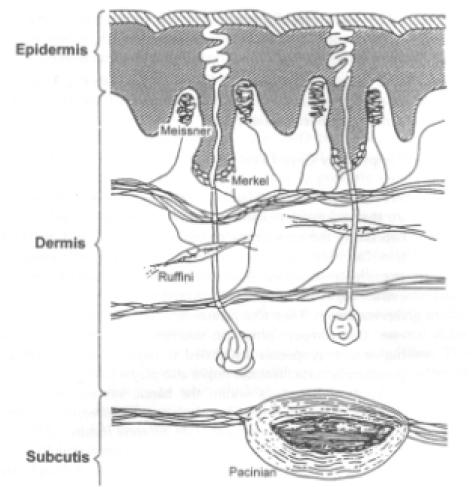 Sezione verticale della pelle della mano, con la locazione dei quattro tipi dimeccanorecettori.